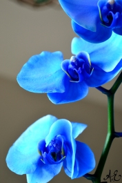 Blue Orchid III