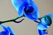 Blue OrchidI