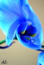 Blue OrchidII