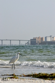 Egret with land background