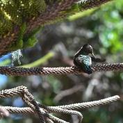Humming Bird V