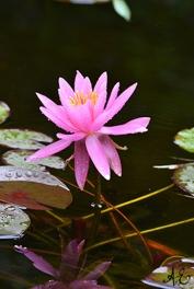 Pink WAterlily Japan