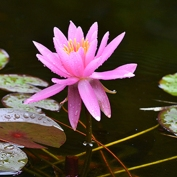 Pink WAterlily Japan