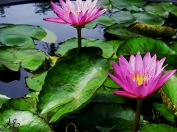 Purplish pink waterlily Korea